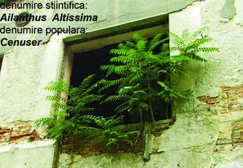 studiobasar_ailanthus_altissima012